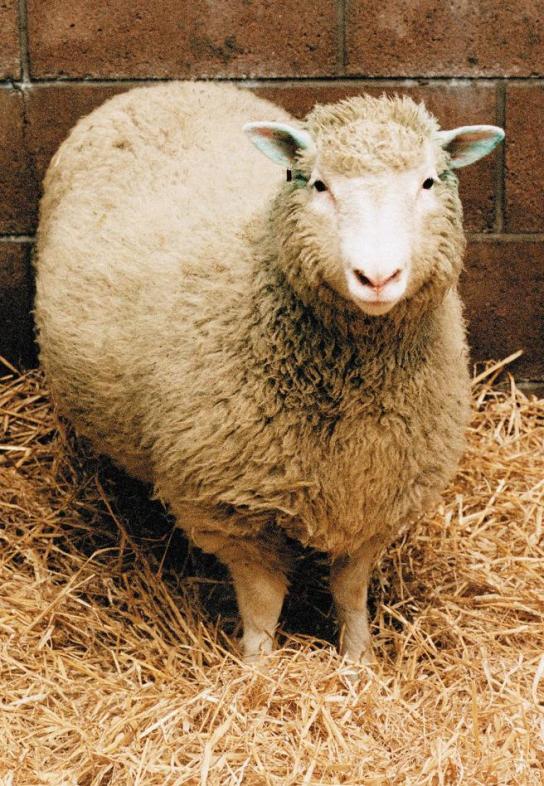 Fotografia de referencia de la Oveja Dolly, el primer animal clonado artificialmente que llegó con éxito a la madurez